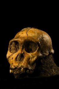 Skull of Malapa Hominin 1. MH1 also known as australopethicus sediba. (Click on image to view larger.)
