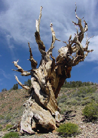 <p>Bristlecone pinetree nickednamed Methuselah.</p>