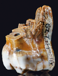 Molar found in Denisova Cave of the Altay Mountains in Southern Siberia. (Click on image to view larger.)