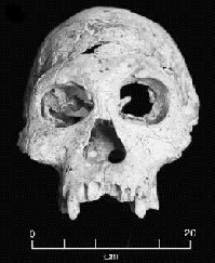 Fossil skull of D2700. (Click on image to view larger.)